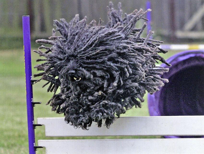 Дрессировка и обучение собак породы пули