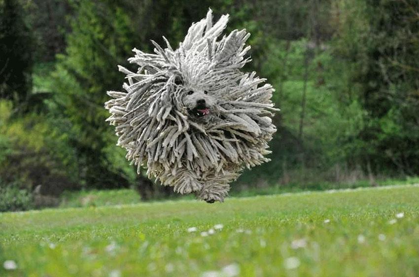 Собака пули - характер породы