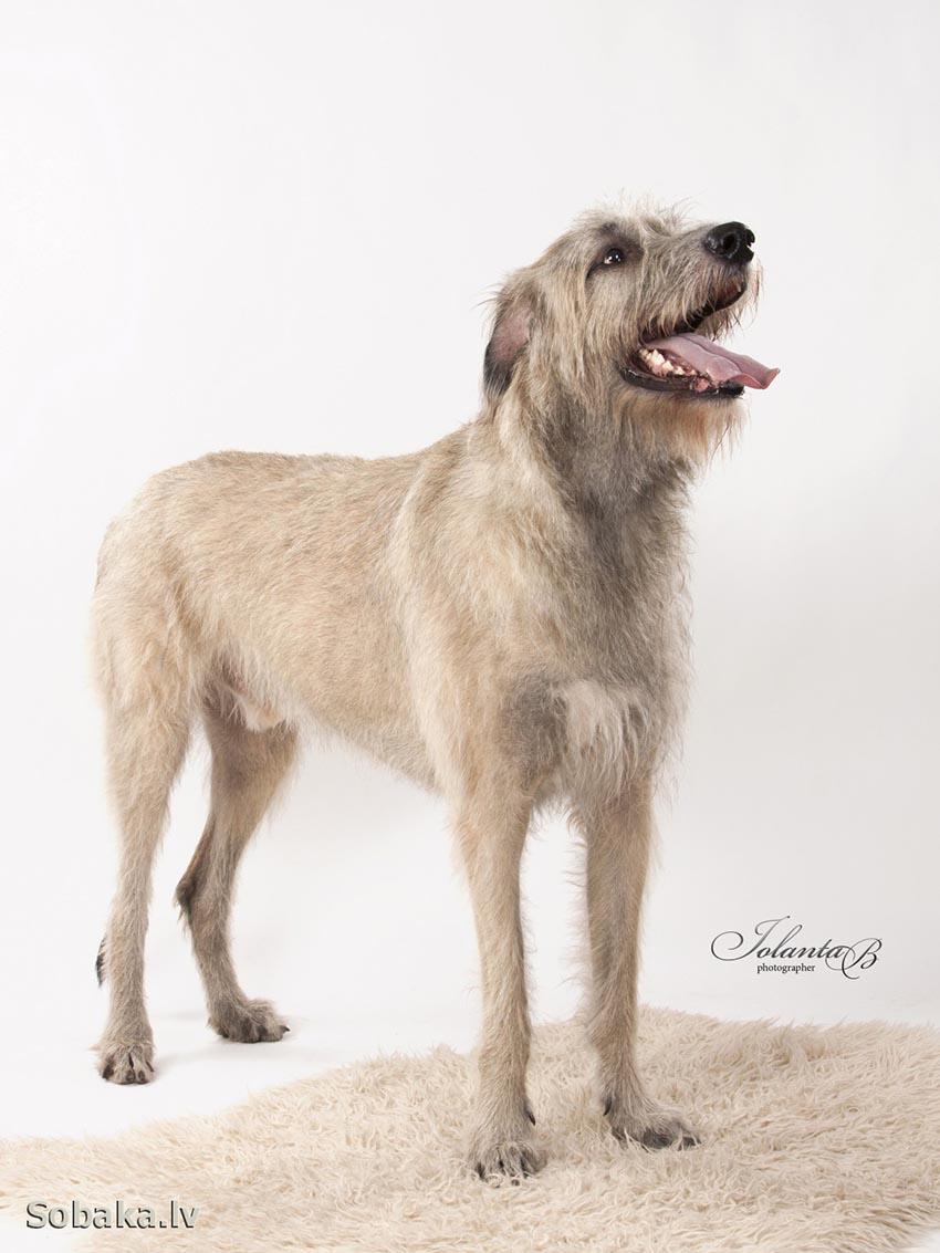Всё о породе ирландский волкодав - фото собаки, описание породы Ирландский волкодав, характер, содержание и уход