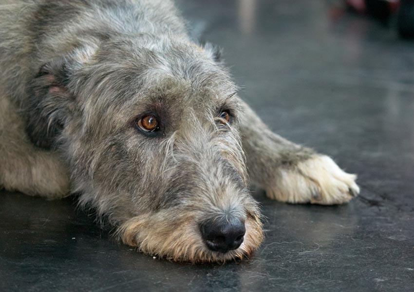 Характер собаки породы ирландских волкодавов
