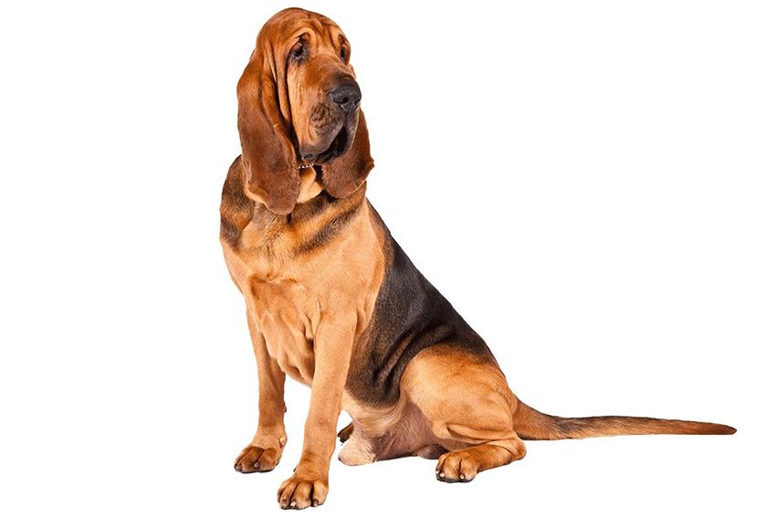 Всё о породе Бладхаунд - фото собаки, описание породы Бладхаунд, характер, содержание и уход