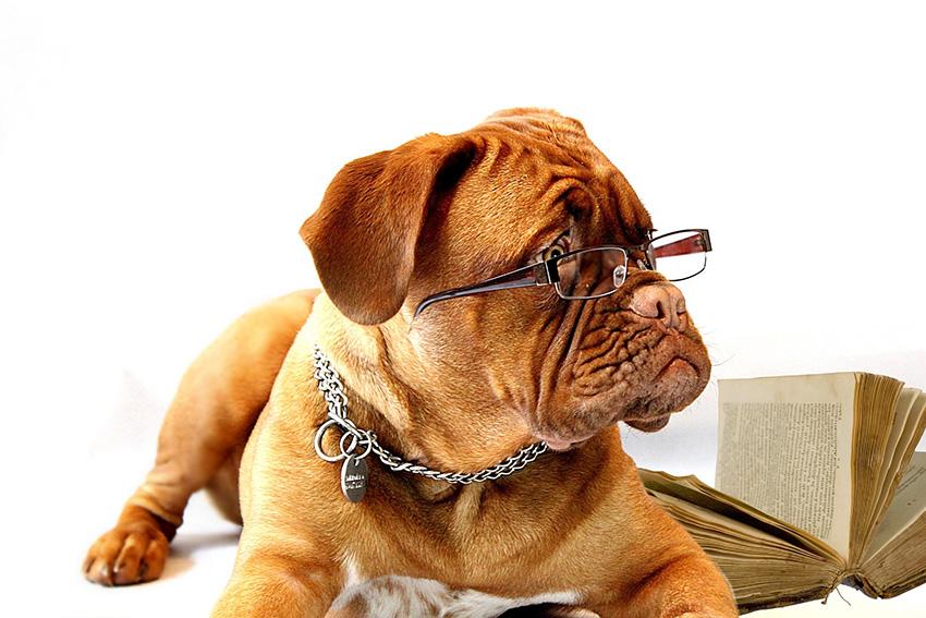 Обучение бладхаунда, дрессировка и воспитание собак