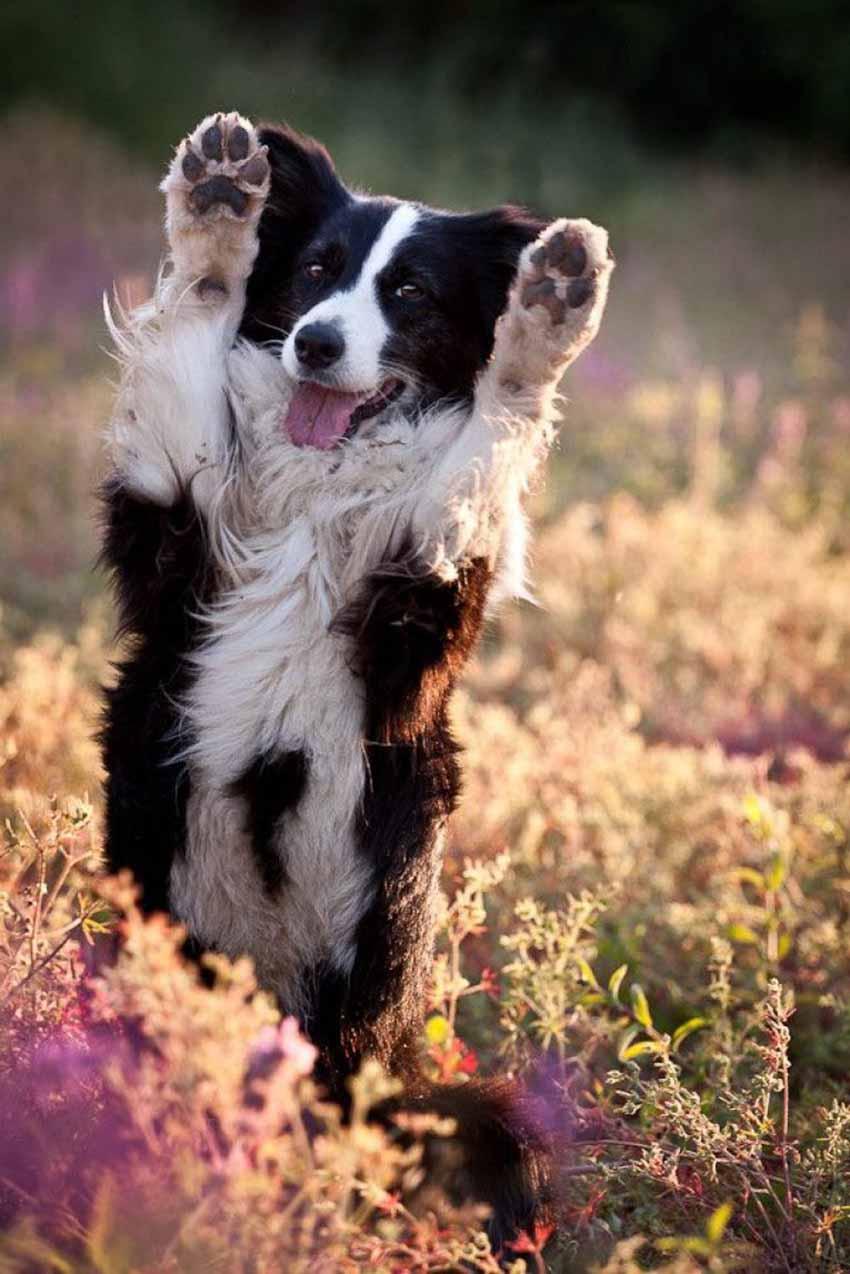Характер собаки породы бордер-колли
