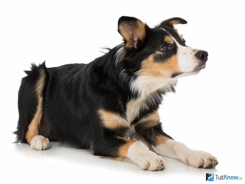 Всё о породе Бордер-колли - фото собаки, описание породы Бордер-колли, характер, содержание и уход