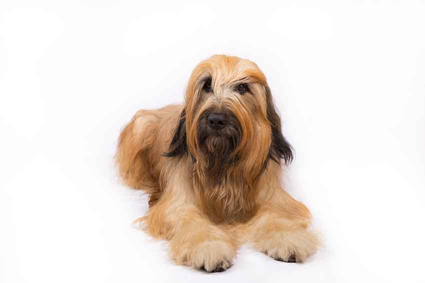 Всё о породе бриар - фото собаки, описание породы бриар, характер, содержание и уход