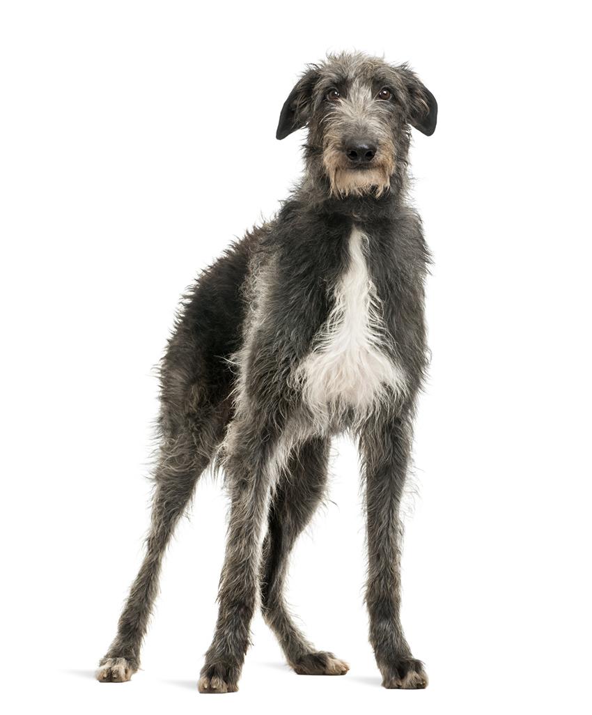 Всё о породе дирхаунд - фото собаки, описание породы Шотландский дирхаунд, характер, содержание и уход