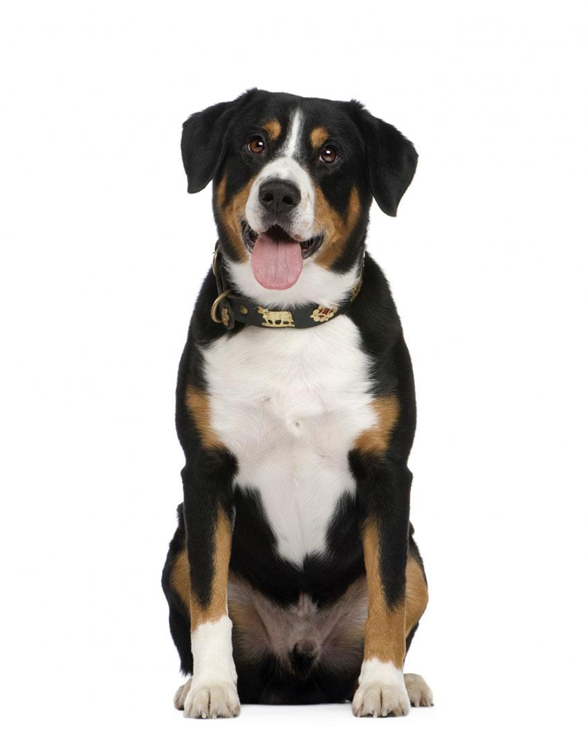 Всё о породе Энтлебухер зенненхунд - фото собаки, описание породы Энтлебухер зенненхунд, характер, содержание и уход