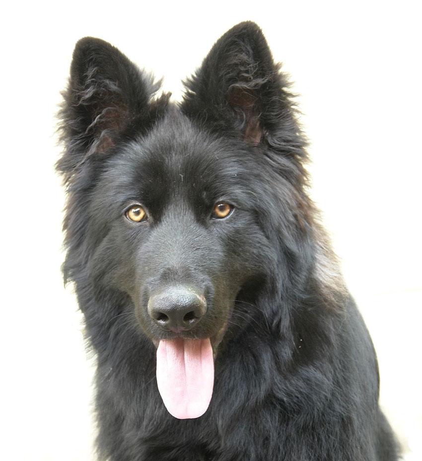 Всё о породе грюнендаль - фото собаки, описание породы Бельгийской овчарки грюнендаль, характер, содержание и уход