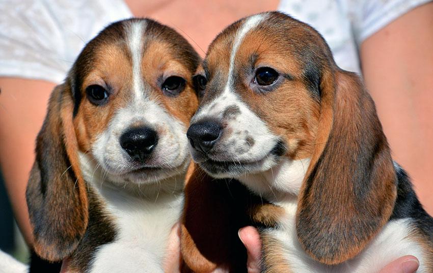 Парочка харьеров - вязка собак