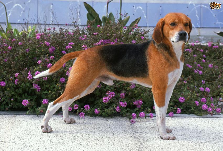 История собак породы харьер