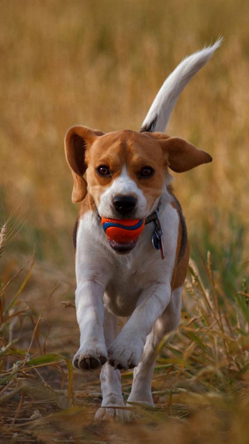 Дрессировка харьеров, обучение и воспитание собак