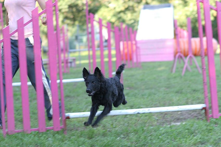 Дрессировка хорватская овчарка, обучение и воспитание собаки