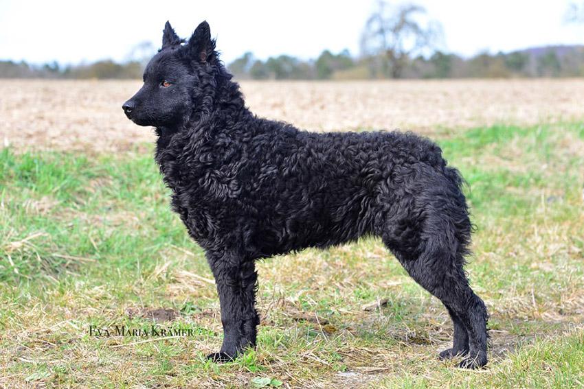 История собак породы хорватская овчарка