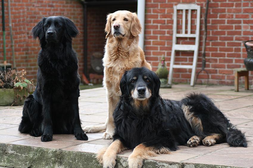 Окрас собак ховаварт