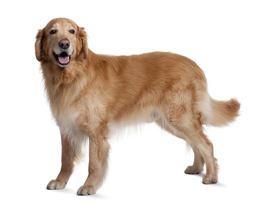 Всё о породе Ховаварт - фото собаки, описание породы Ховаварт, характер, содержание и уход