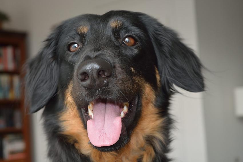Характер собак породы ховаварт