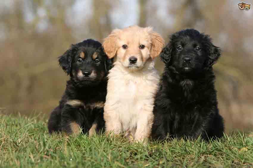 Как правильно выбрать щенка ховаварта