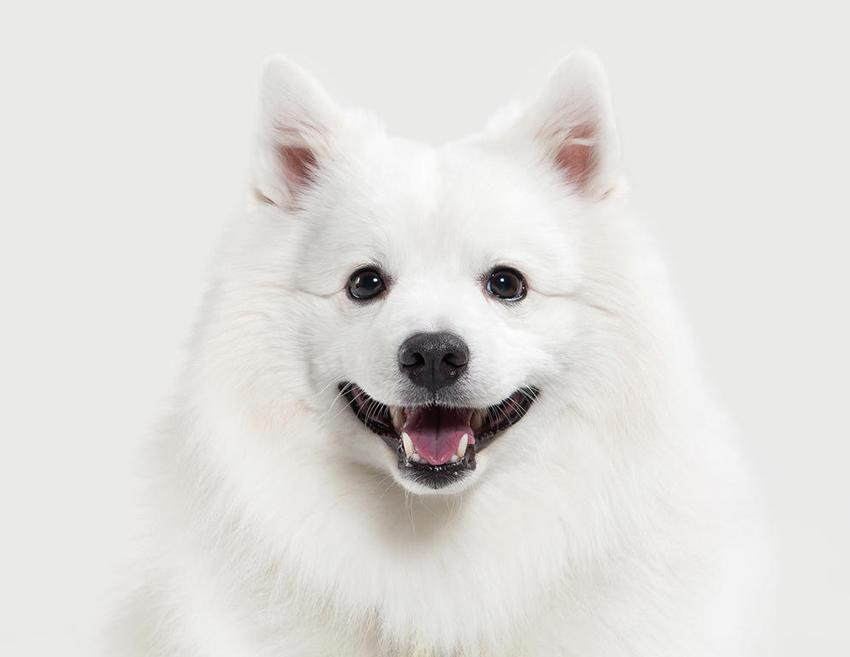 Всё о породе Японский шпиц - фото собаки, описание породы Японский шпиц, характер, содержание и уход