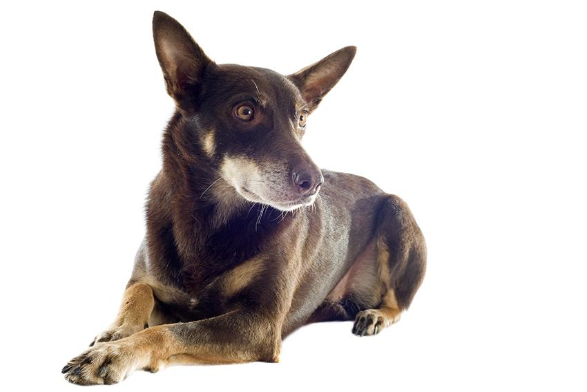 Всё о породе австралийский келпи - фото собаки, описание породы австралийская овчарка, характер, содержание и уход