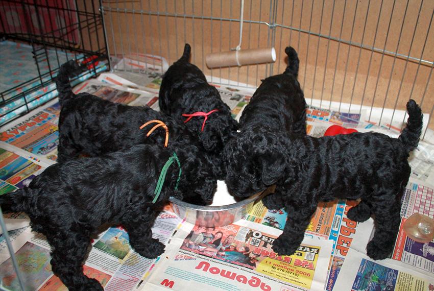 Питание, чем можно кормить собак породы керри-блю-терьер