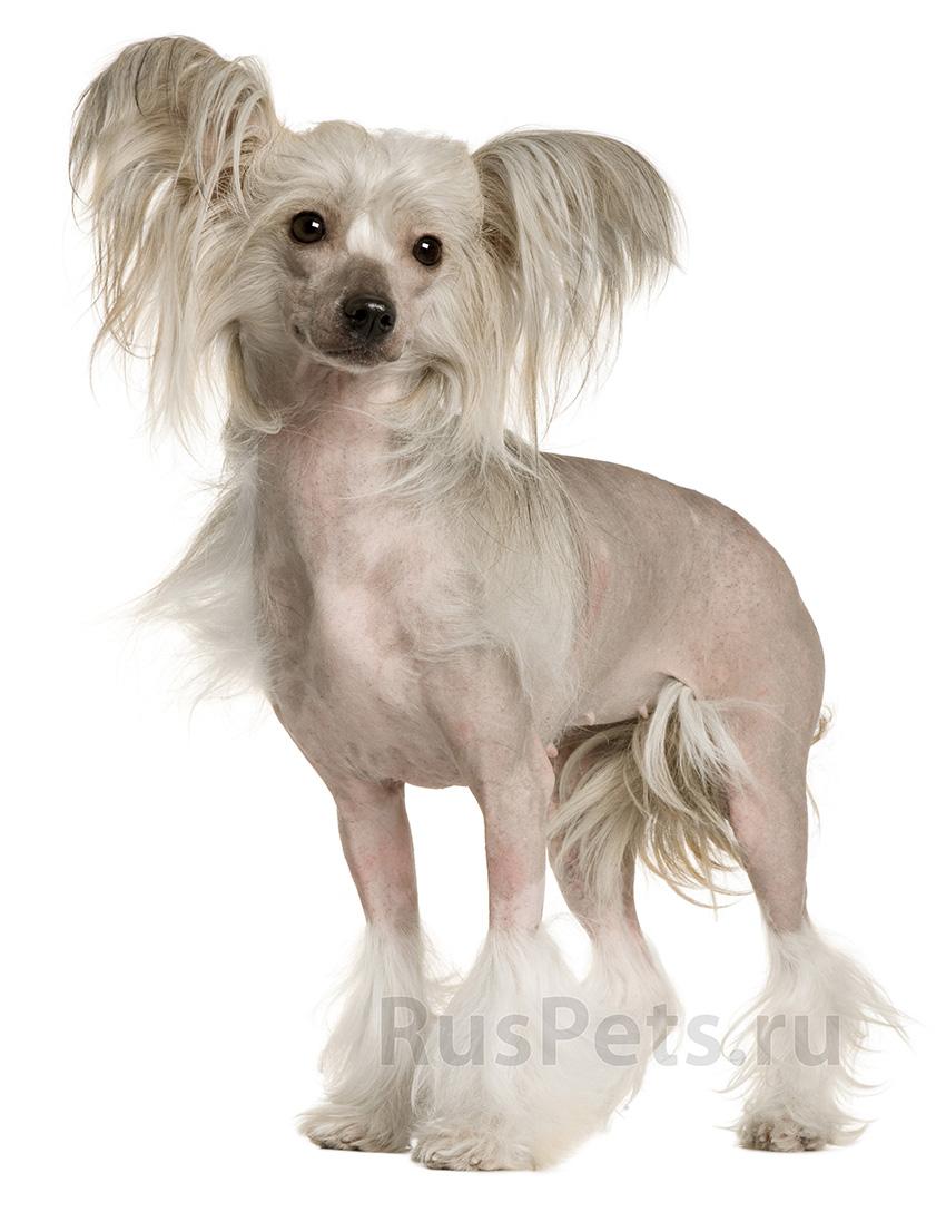 Всё о породе Китайская хохлатая - фото собаки, описание породы Китайская хохлатая, характер, содержание и уход