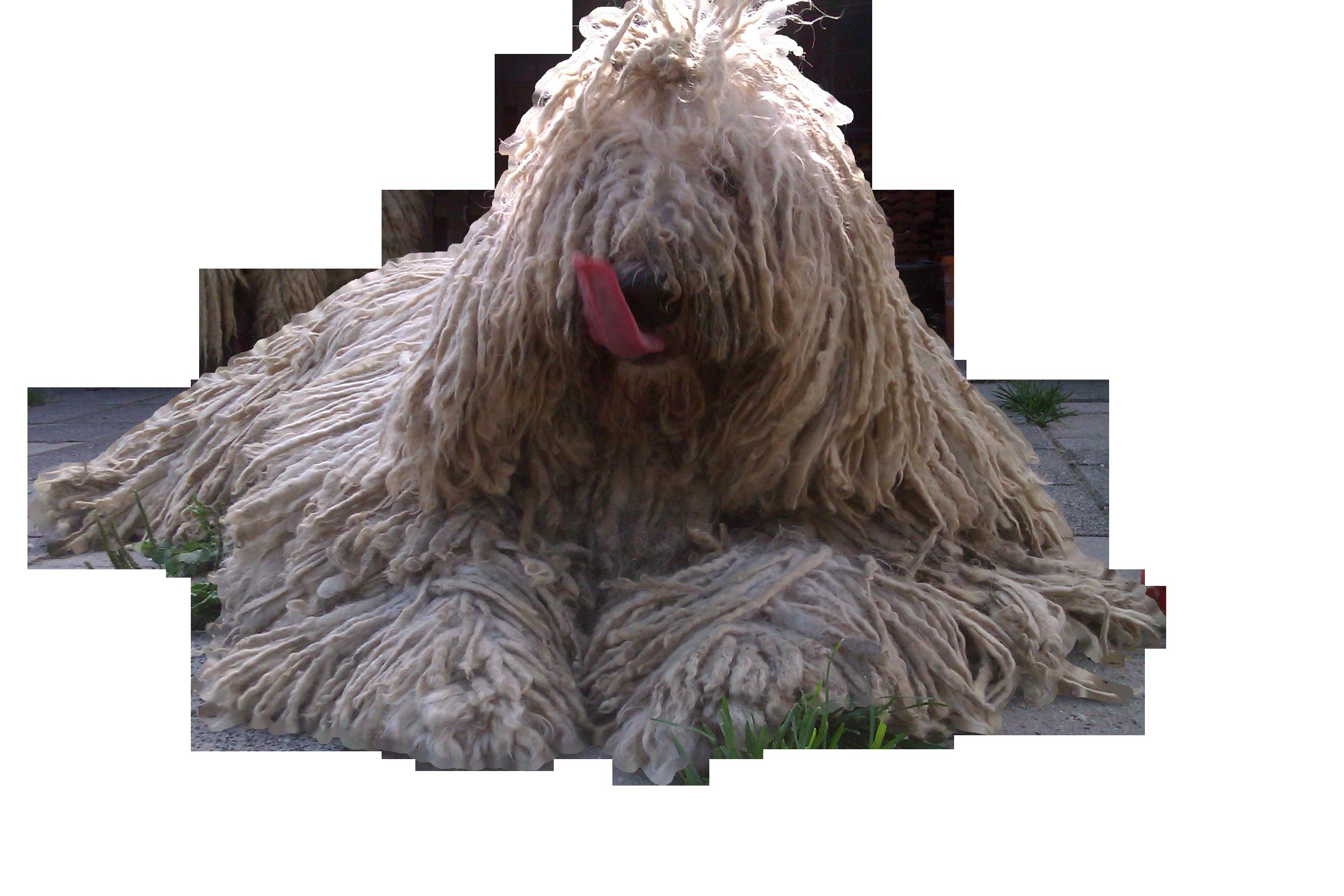 Всё о породе Комондор - фото собаки, описание породы Командор, характер, содержание и уход за венгерскими овчарками