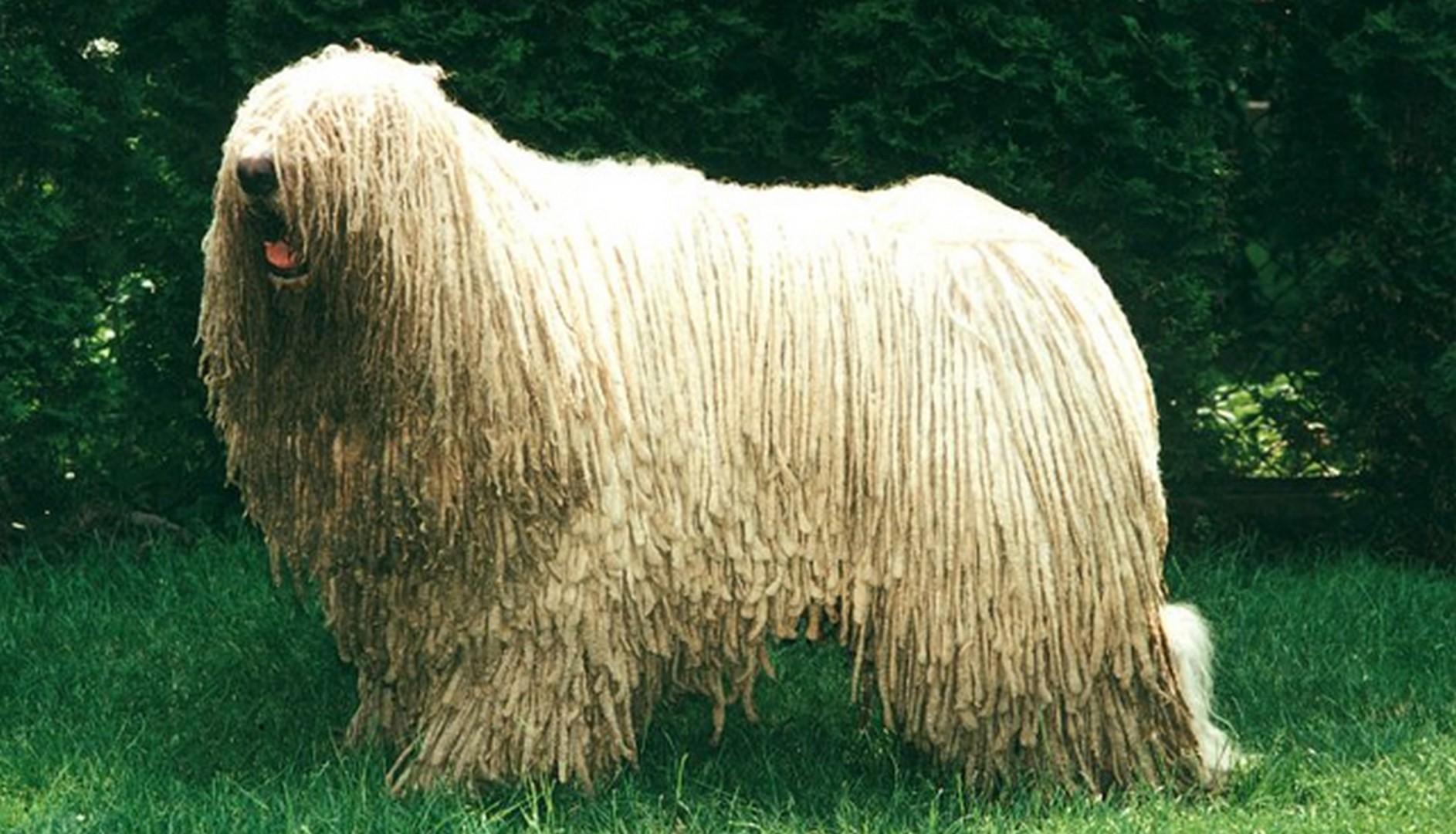 История собак породы комондор
