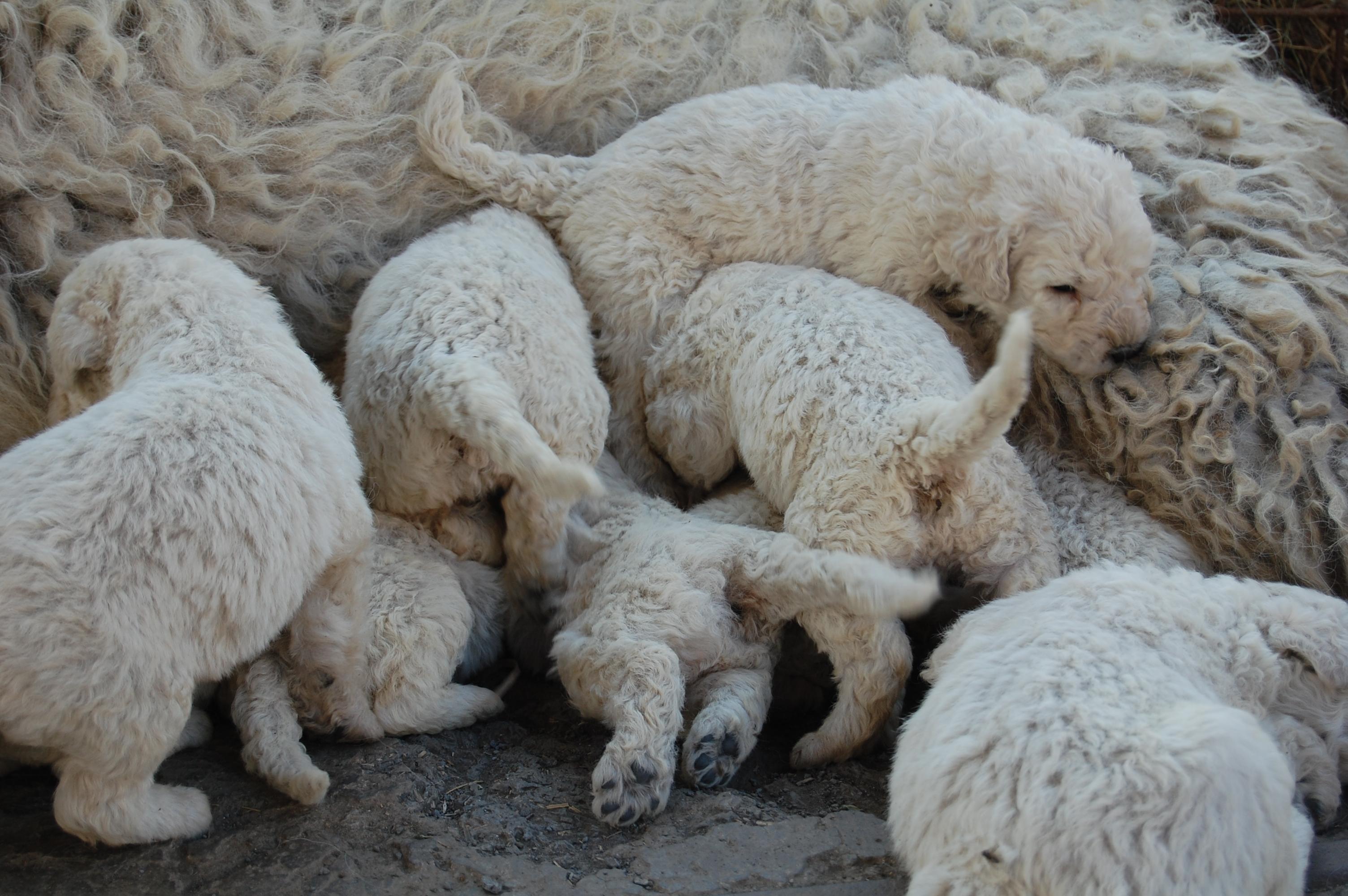 Мама комондор с щенками