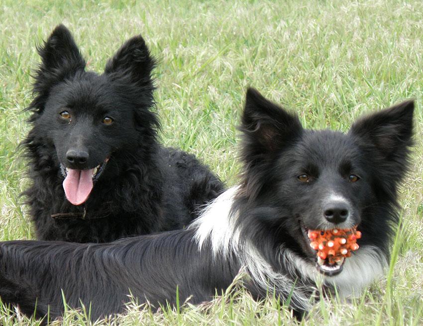 Дрессировка венгерской пастушьей собаки