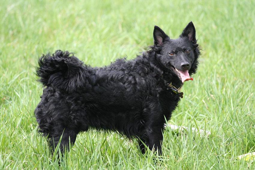 Прогулка, сколько надо гулять с венгерской пастушьей собаки