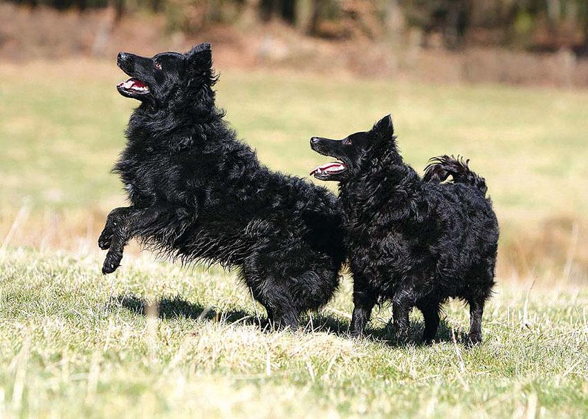 Характер венгерской пастушьей собаки