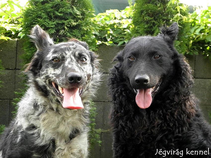 Парочка венгерской пастушьей собаки
