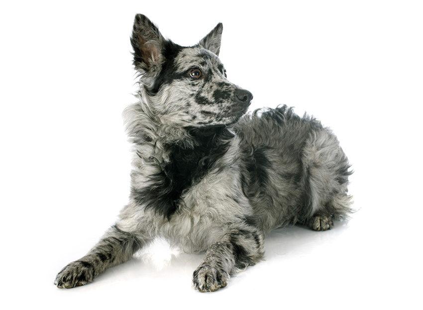 Всё о породе муди - фото собаки венгерская пастушья собака, описание породы муди, характер, содержание и уход