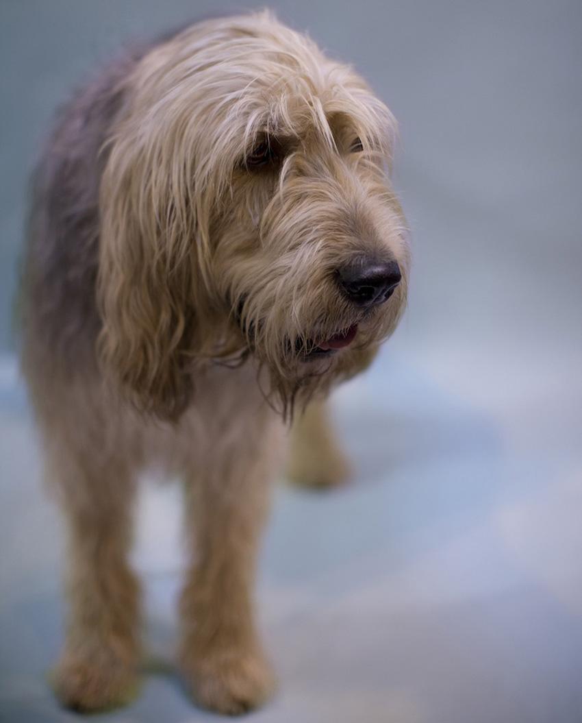 Всё о породе Оттерхаунд - фото собаки, описание породы Оттерхаунд, характер, содержание и уход за Выдровой гончей