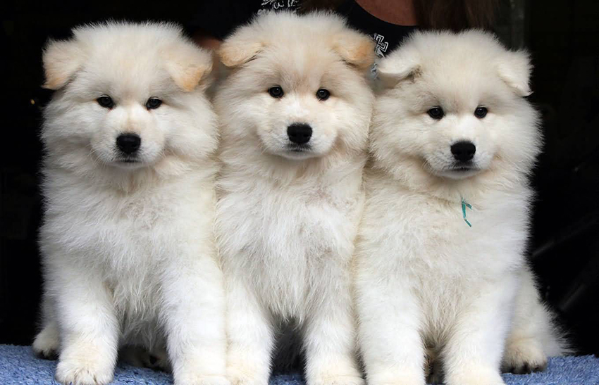 как выбрать щенка самоедской лайки