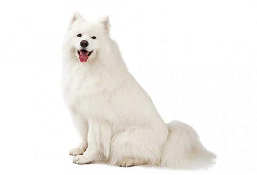всё о породе самоед - собака самоедская лайка - фото