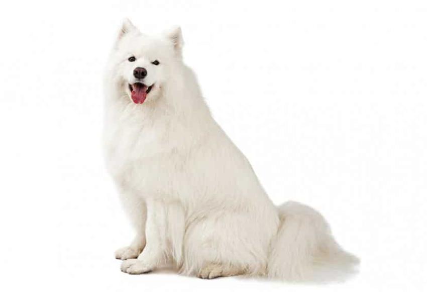 Всё о породе самоед - фото собаки, описание породы самоедская лайка, характер, содержание и уход за самоедами