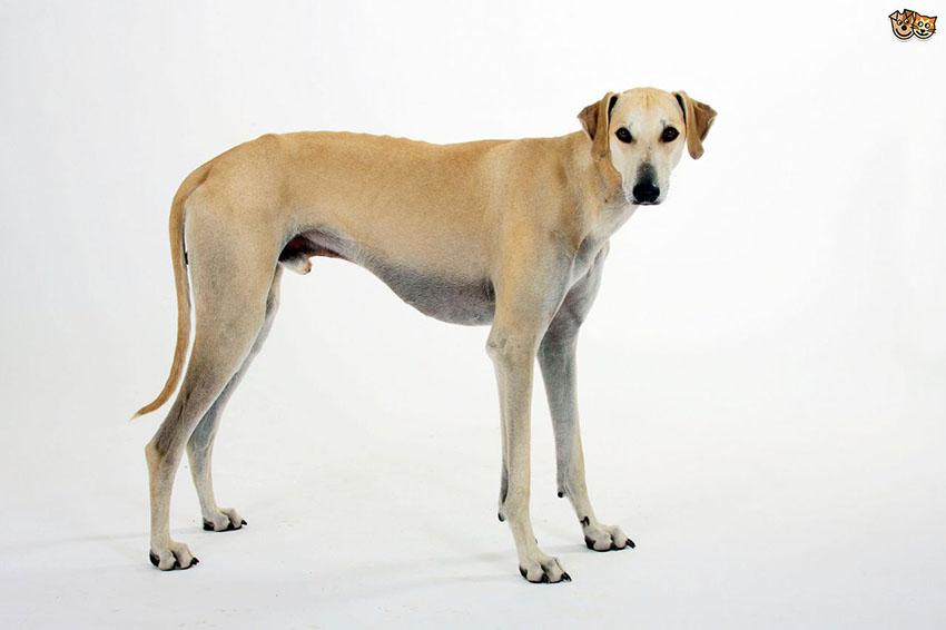 Всё о породе Слюги - фото собаки, описание породы арабской борзой, характер, содержание и уход