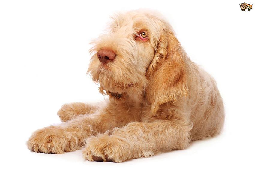 Всё о породе спиноне - фото собаки, описание породы Итальянский спиноне, характер, содержание и уход