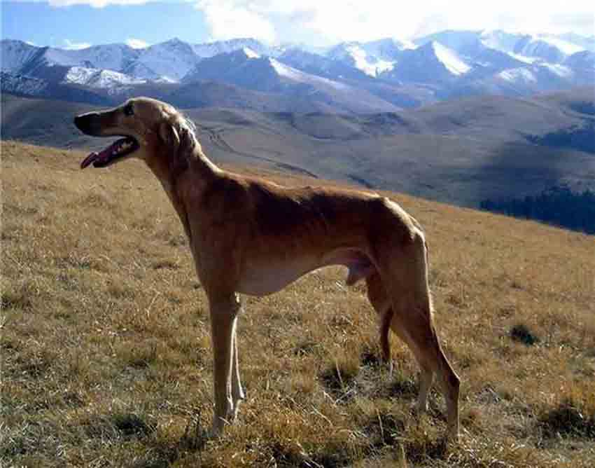 собаки фото тазы