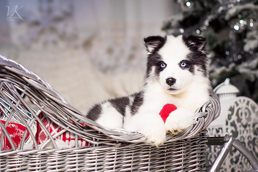 Содержание якутской лайки и уход за собакой