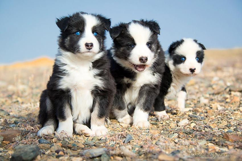 Как выбрать щенка якутской лайки