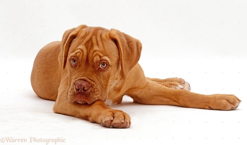 Всё о породе бордоский дог - фото собаки, описание породы бордоский дог, характер, содержание и уход французскими мастифами