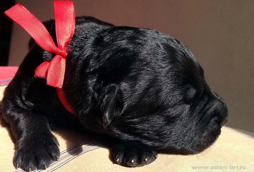 Как правильно выбрать щенка русского черного терьера