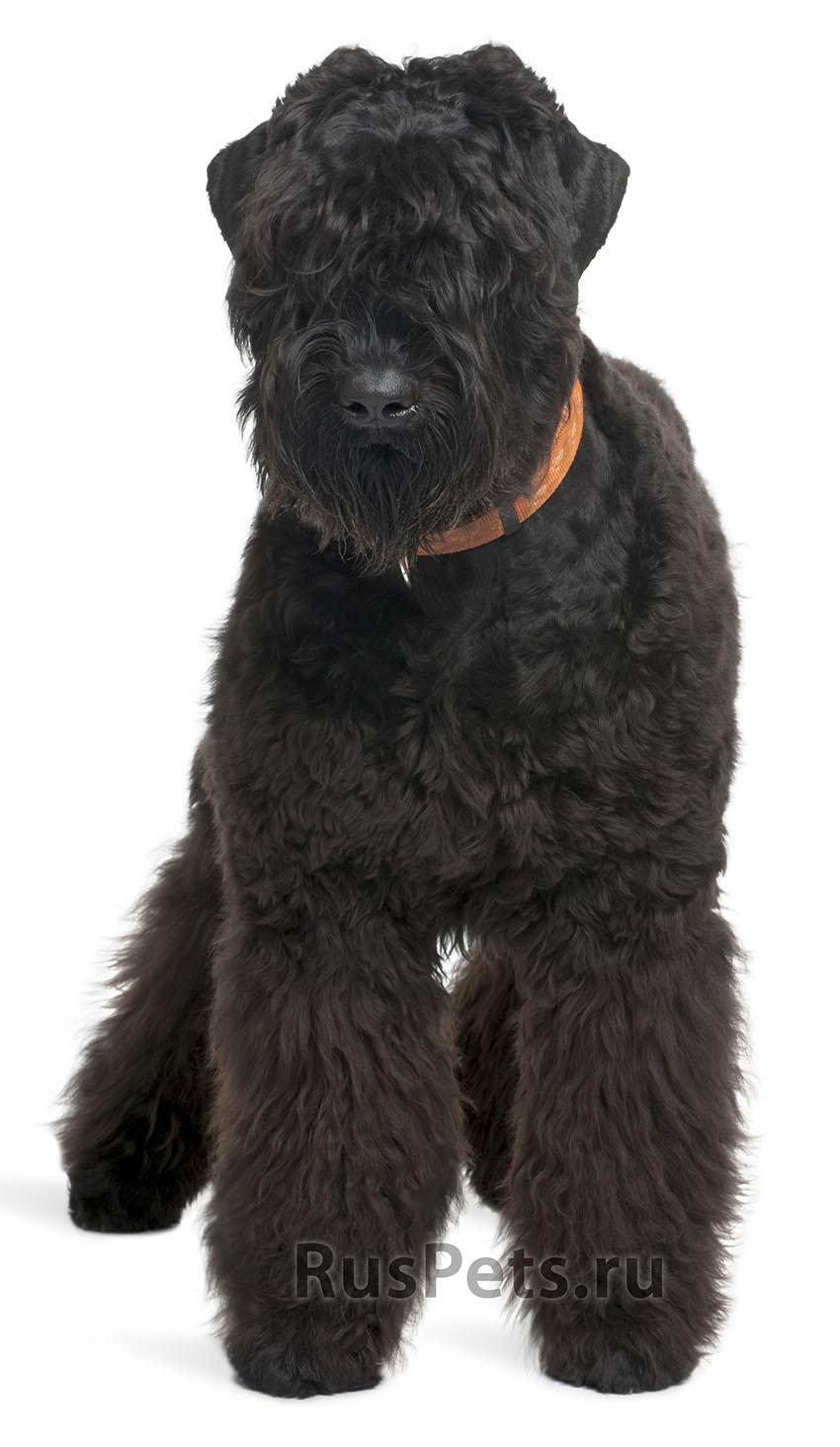 Всё о породе Русский черный терьер - фото собаки, описание породы Русский черный терьер, характер, содержание и уход