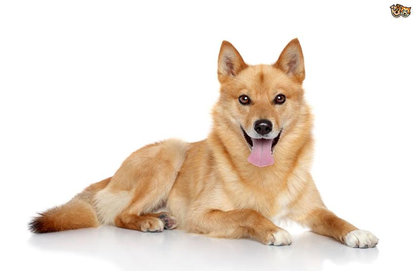 Всё о породе финский шпиц - фото собаки, описание породы Карело-финской лайки, характер, содержание и уход за карело-финским шпицем
