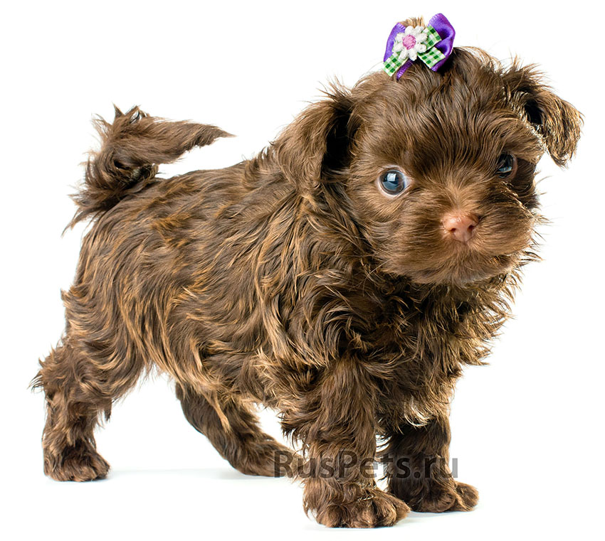 Всё о породе Русская цветная болонка - фото собаки, описание породы Русская цветная болонка, характер, содержание и уход