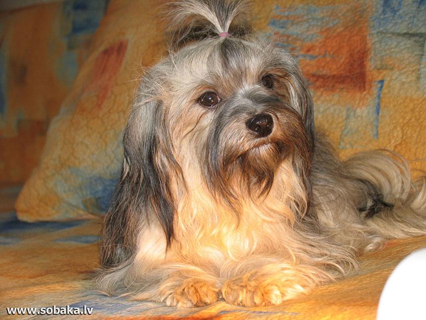 содержание русских цветных болонок и уход за собаками