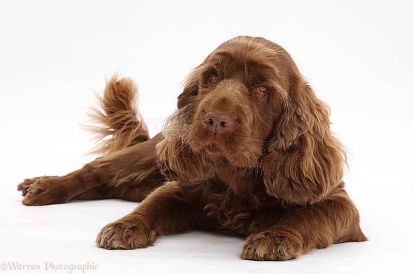 Всё о породе Суссекс-спаниель - фото собаки, описание породы Суссекс-спаниель, характер, содержание и уход