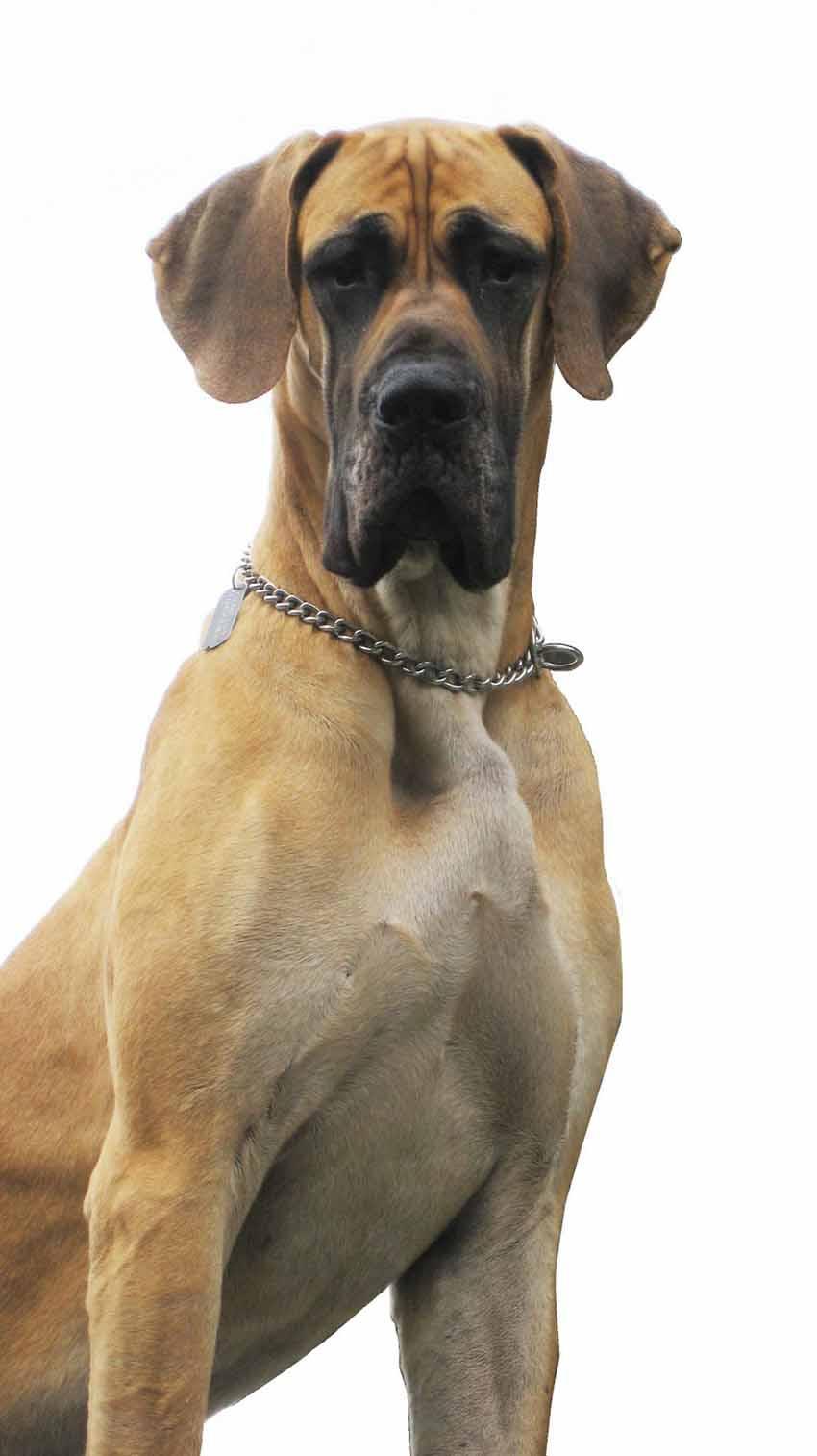 Всё о породе Алано - фото собаки, описание породы алано эспаньол, характер, содержание и уход за испанским бульдогом алано